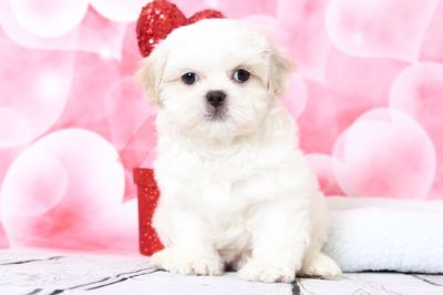 Zuchon PUPPY FOR SALE ADN-63457 - Louie Lovable Little Male Teddy Bear Puupy