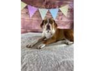 Adopt Ringo a Tan/Yellow/Fawn - with White American Pit Bull Terrier dog in
