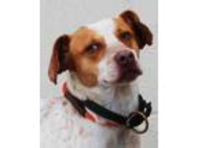 Adopt Ford a White Beagle / Mixed dog in Toccoa, GA (24494797)