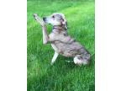 Adopt Layla a Catahoula Leopard Dog, Whippet