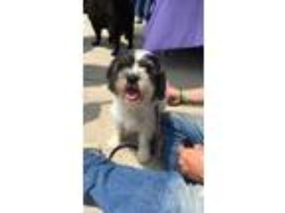 Adopt Butterball a Black - with White Shih Tzu / Standard Schnauzer / Mixed dog