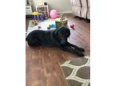 Adopt Jefferson a Black Labrador Retriever / Mixed dog in Fort Leonard Wood