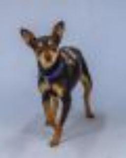 Dottie Miniature Pinscher Dog