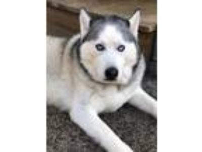 Adopt Mona a Siberian Husky / Mixed dog in Libertyville, IL (9484245)