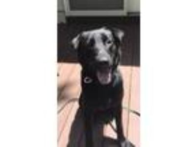 Adopt Charcoal a Labrador Retriever