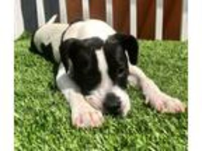 Adopt Sunny a Black - with White Hound (Unknown Type) / Terrier (Unknown Type
