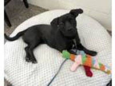 Adopt Sweet Pea a Black Basset Hound / Labrador Retriever / Mixed dog in