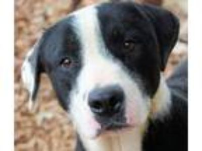 Adopt CLARA a Black - with White Border Collie / Mixed dog in Red Bluff