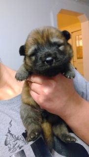 Chow Chow PUPPY FOR SALE ADN-52558 - Chow chow puppies