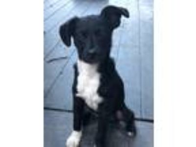 Adopt Rudy a Black - with White Terrier (Unknown Type, Small) / Mixed dog in