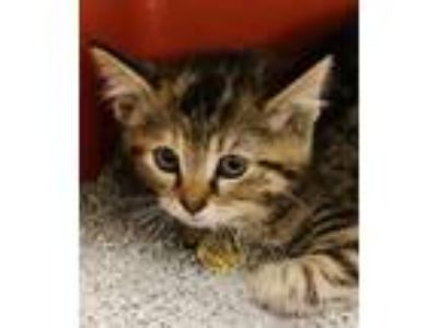 Adopt Bunny a Domestic Short Hair
