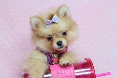 Cute Teddy bear Teacup Pomeranian Puppies for Sale in Las Vegas! Financing and Shipping Available!