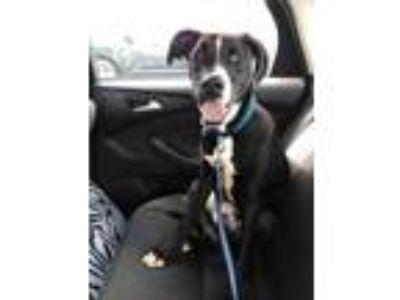 Adopt Loki a Black - with White Cane Corso / Doberman Pinscher dog in Warren