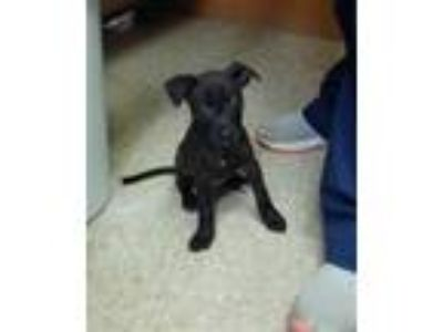 Adopt SKIPPER DOO a Black Plott Hound / Mixed dog in Green Cove Springs