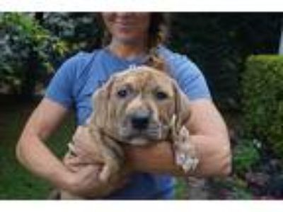 Adopt Big Bertha a Brindle Mastiff / Shepherd (Unknown Type) / Mixed dog in West