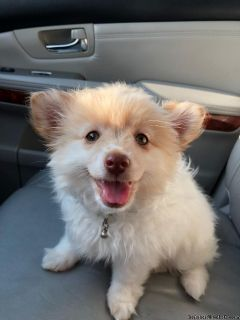 Lost pomeranian mix puppy (white with brown spots)