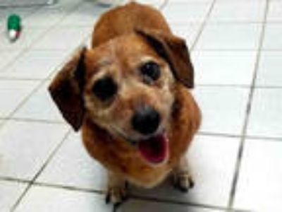 Adopt COCOA a Brown/Chocolate Dachshund / Mixed dog in Canfield, OH (24809713)