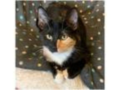 Adopt Josie a Domestic Short Hair, Calico