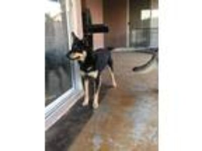 Adopt Duke a Black - with Tan, Yellow or Fawn German Shepherd Dog / Husky dog in