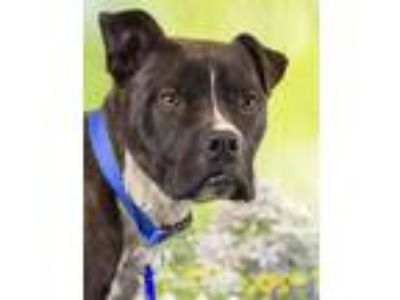 Adopt Scooby (ID 22486/1296) a Pit Bull Terrier