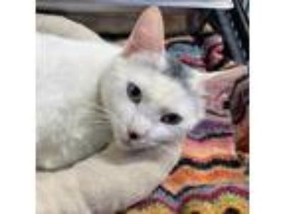 Adopt Juliet a White Domestic Shorthair cat in North Hollywood, CA (25571812)