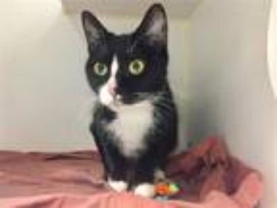 Adopt Gypsy a Domestic Shorthair / Mixed (short coat) cat in New York
