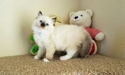 Purebred Ragdoll Kittens Now Available.