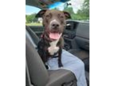 Adopt Guinevere a Pit Bull Terrier / Mixed Breed (Medium) / Mixed dog in