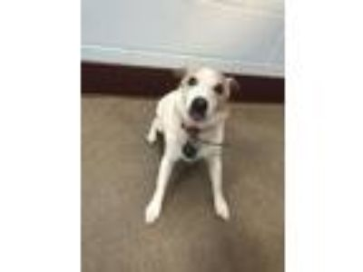 Adopt Bandit a Parson Russell Terrier, Mixed Breed