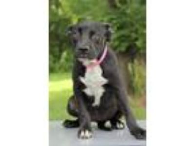 Adopt Shelly a Black - with White Hound (Unknown Type) / Labrador Retriever /