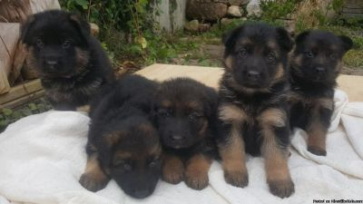 a.K.c. Reg Champion Sired German Shepherd Puppies for sale anytimee