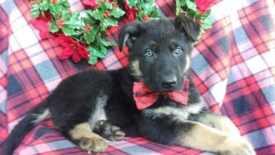 German Shepherd Dog PUPPY FOR SALE ADN-108315 - Baxter the German shepherd