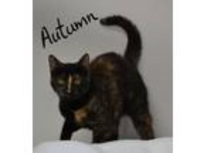 Adopt Autumn a Tortoiseshell Domestic Shorthair (short coat) cat in Lebanon