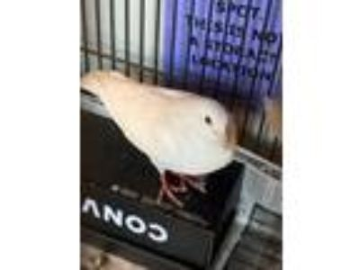 Adopt Skarlath a White Other/Unknown / Mixed bird in Arlington, VA (25522580)