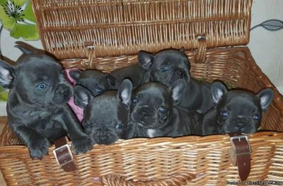 Gorgeous Blue French Bulldog puppies for sallllleee