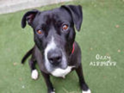 Adopt OZZY a Black - with White Mixed Breed (Medium) / American Pit Bull Terrier
