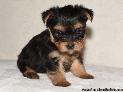 favorite this post yorkie puppies UP for adoption ( .... serious inquires only!)!!!