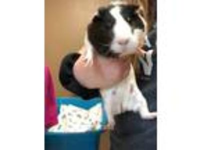 Adopt Sqeeks a White Guinea Pig / Guinea Pig / Mixed small animal in Wisconsin