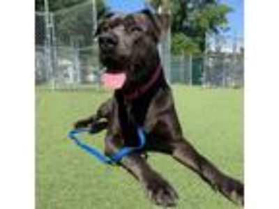 Adopt Pluto a Mastiff / Terrier (Unknown Type, Small) dog in Asheville