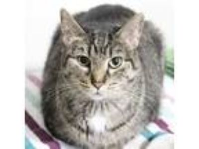 Adopt Emma a Gray or Blue Domestic Shorthair cat in Rochester, MN (25007064)