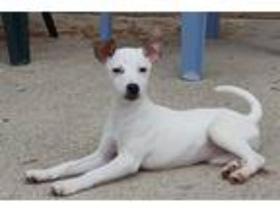 Adopt Marilyn a White - with Brown or Chocolate Jack Russell Terrier / Mixed dog