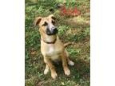 Adopt Book a Brown/Chocolate Husky / Mixed dog in Clay, AL (23423807)