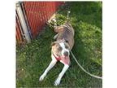 Adopt Gucci a Brindle - with White Terrier (Unknown Type