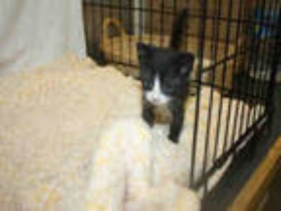 Adopt TINY a Black & White or Tuxedo Domestic Shorthair / Mixed (short coat) cat