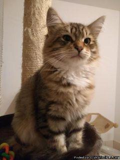 Siberian Kitten To Choose