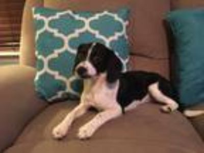 Adopt Leah a White - with Black Poodle (Miniature) / Beagle dog in Indian Trail