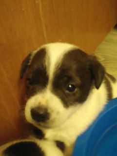 Parson Russell Terrier PUPPY FOR SALE ADN-75719 - Purebred Parsons Jack Russell Terrier