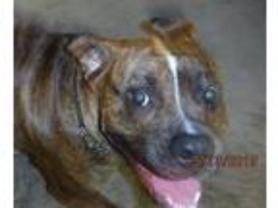 Adopt a Boxer / American Pit Bull Terrier / Mixed dog in Spokane Valley