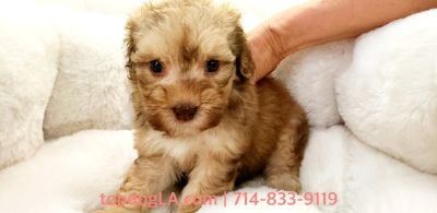 Cock-A-Poo PUPPY FOR SALE ADN-80384 - Cockapoo Male Julian