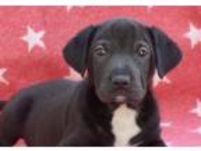 Adopt Grumpy a Black - with White Labrador Retriever / Cattle Dog / Mixed dog in